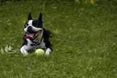 A one-eyed Boston Terrier dog with its tongue hanging out in the sun and grass with his favorite tennis ball. poster