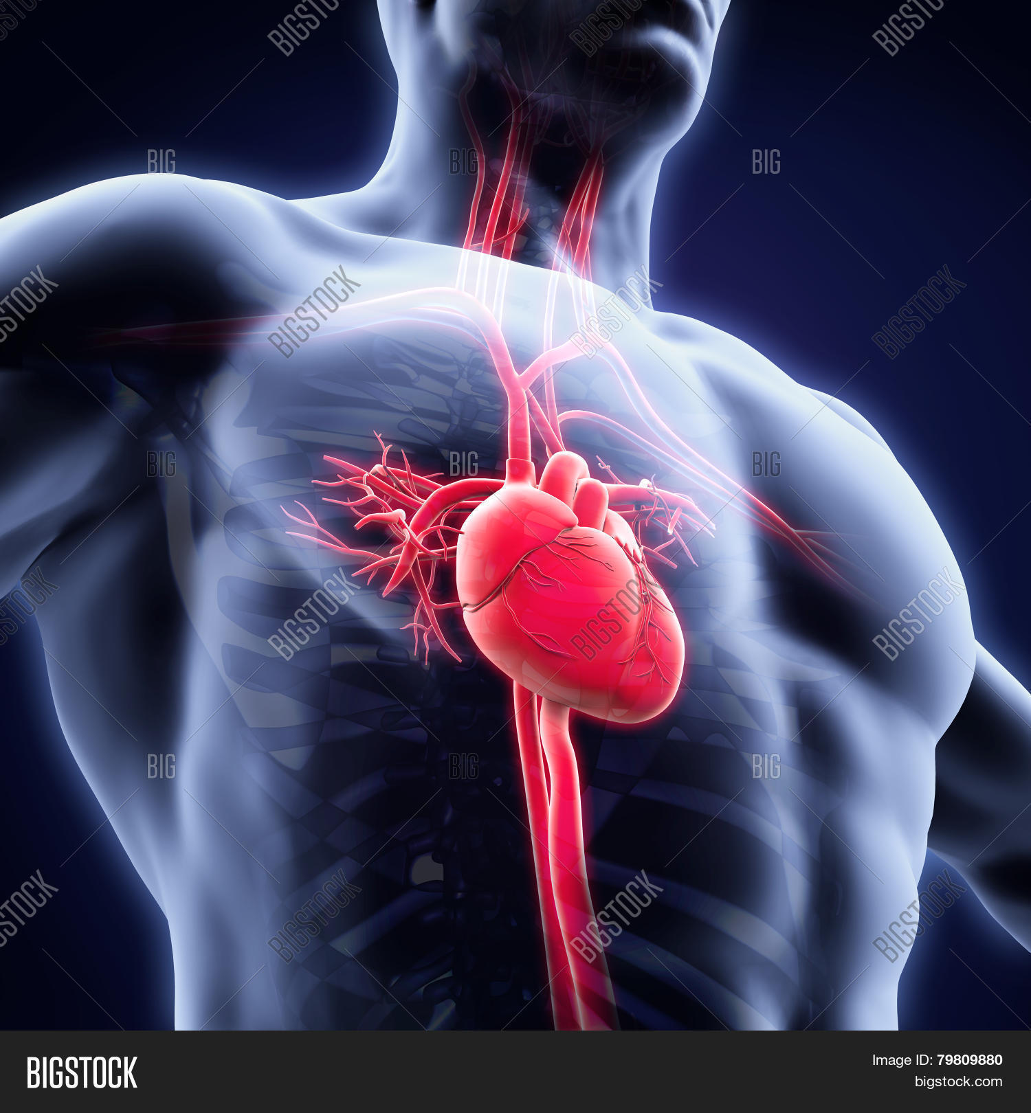 Human Heart Anatomy Image Photo Free Trial Bigstock