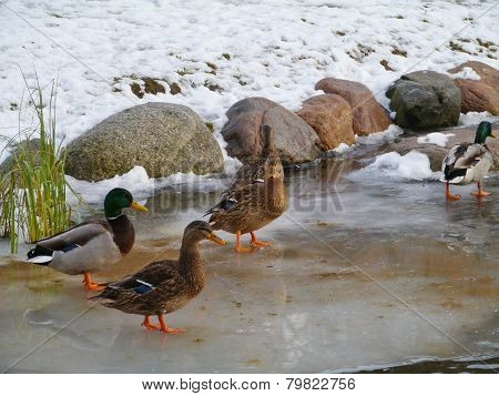 Mallards in winter