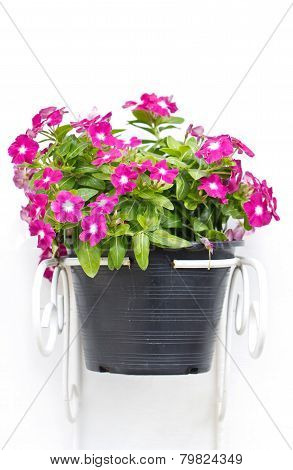 Vinca Flowers Hanging Pot Plant Isolated On White.
