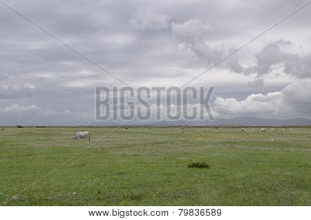 Maremma Cows