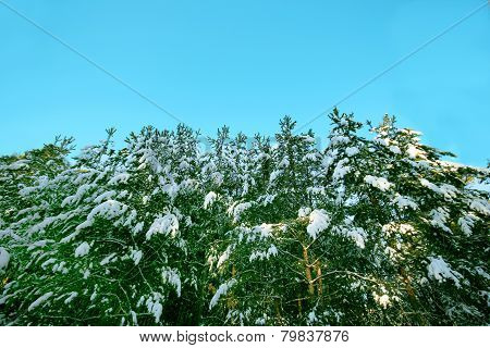 Siberian Winter Forest