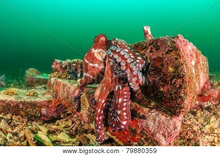 Large octopus on a tropical reef during an algae bloom