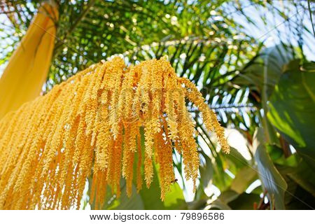 Phoenix roebelenii (Pygmy date palm) yellow branch of flowers. Shallow depth of field (DOF) poster
