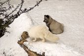 Two arctic foxes in the snow - white and gray. poster