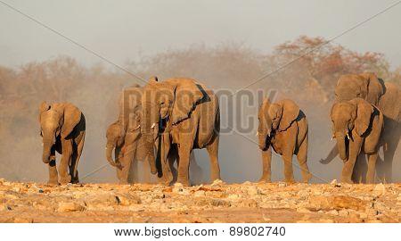 African elephant (Loxodonta africana) herd in dust, Etosha National Park, Namibia