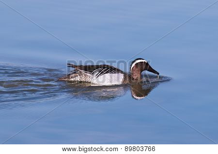 Garganey dabbling duck (Anas querquedula) swimming in the wetlands