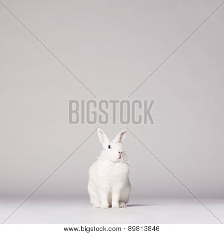 Studio photo of white rabbit on white background