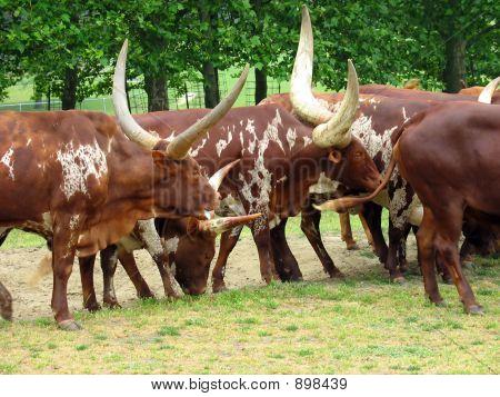 Livestock Migration