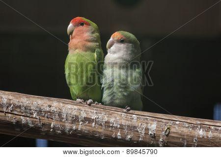 Agapornis Lovebirds