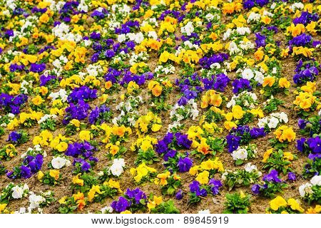 Pansies Flowers. Colorful Background Or Texture.