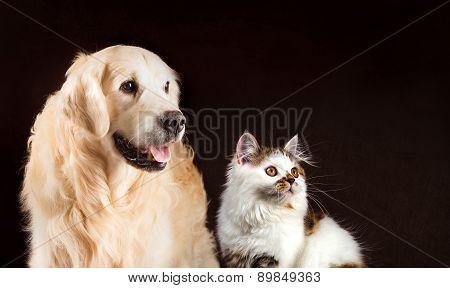 Cat And Dog, Scottish Tortoiseshell White Straight Kitten, Golden Retriever Looks At Right