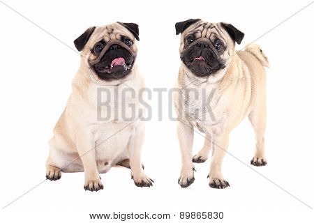 Two Friendly Pug Dogs Sitting Isolated On White