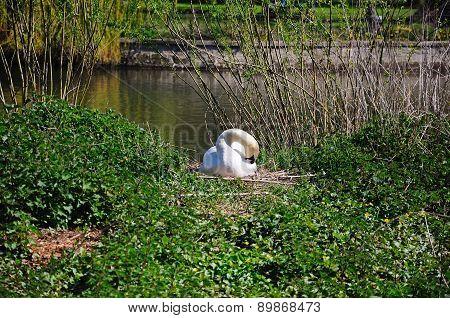 Nesting Mute Swan.