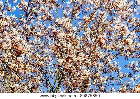 Flowering Rosaceae Tree In Springtime