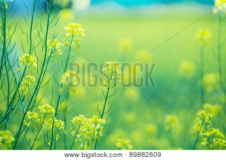 Rapeseed field close up. Intentionally shot with shallow depth of field for dreamy feel.