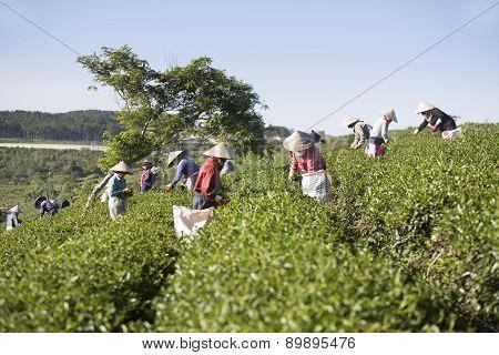 Dalat, Vietnam, December 30, 2015: A group of farmers picking tea on a summer afternoon in Cau Dat tea plantation, Da lat, Vietnam
