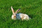 rabbit lying in a meadow and looking at camera poster
