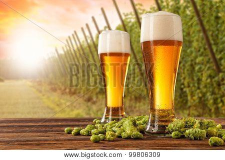 Beer glasses served on wooden desk with hop-field on background