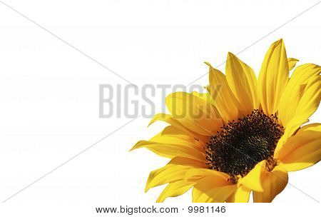 Sunflower flower.