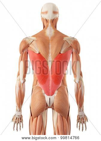 medically accurate illustration of the latissimus dorsi
