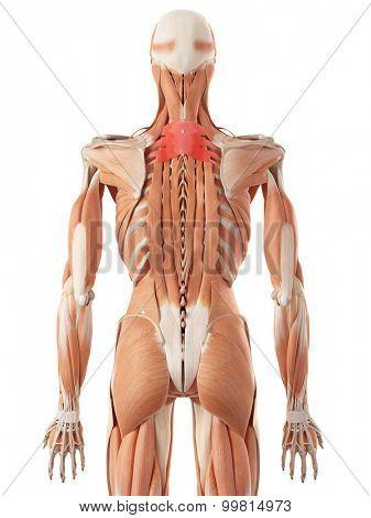 medically accurate illustration of the serratus posterior superior