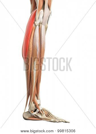 medically accurate illustration of the gastrocnemius