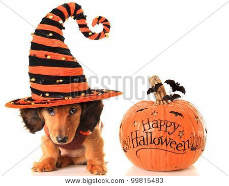 Longhair dachshund puppy, wearing a Halloween witch hat, next to a pumpkin.