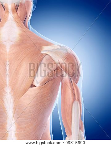 medically accurate illustration of the posterior shoulder muscles