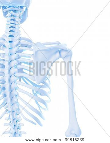 medically accurate illustration of the shoulder