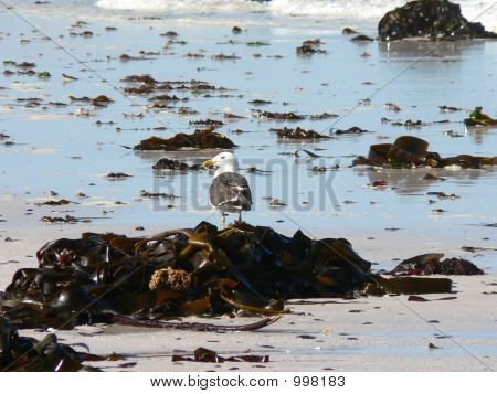 a distant kelp gull surveying the beach. poster