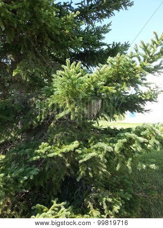 A home in the spruce tree