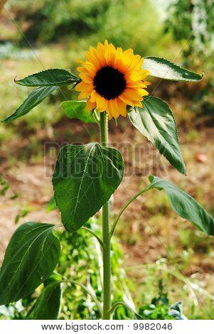 Plant sunflower blossom