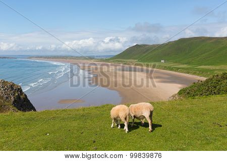 Welsh sheep Rhossili beach The Gower peninsula near Swansea South Wales UK in summer
