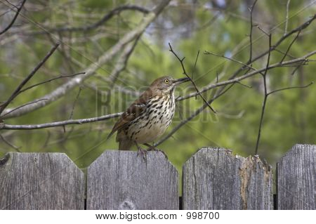 a brown thrasher preparing to build a nest. poster