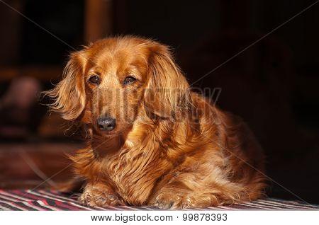 Golden miniature long-haired dachshund