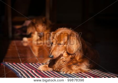 Dachshund Sleeping In Sun