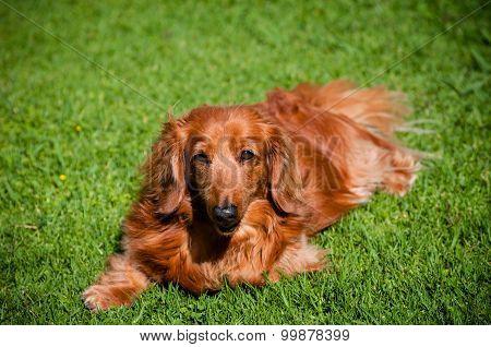 Golden Dachshund On Lawn