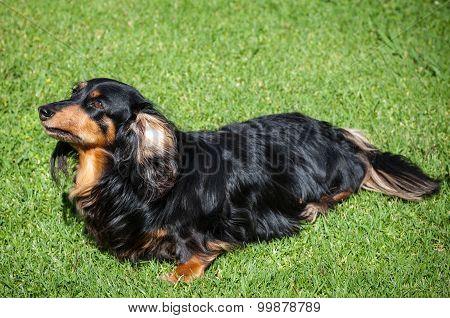 Beautiful Lonely Black Dachshund