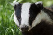 A Badger portrait looking staight forward Grassy background. poster