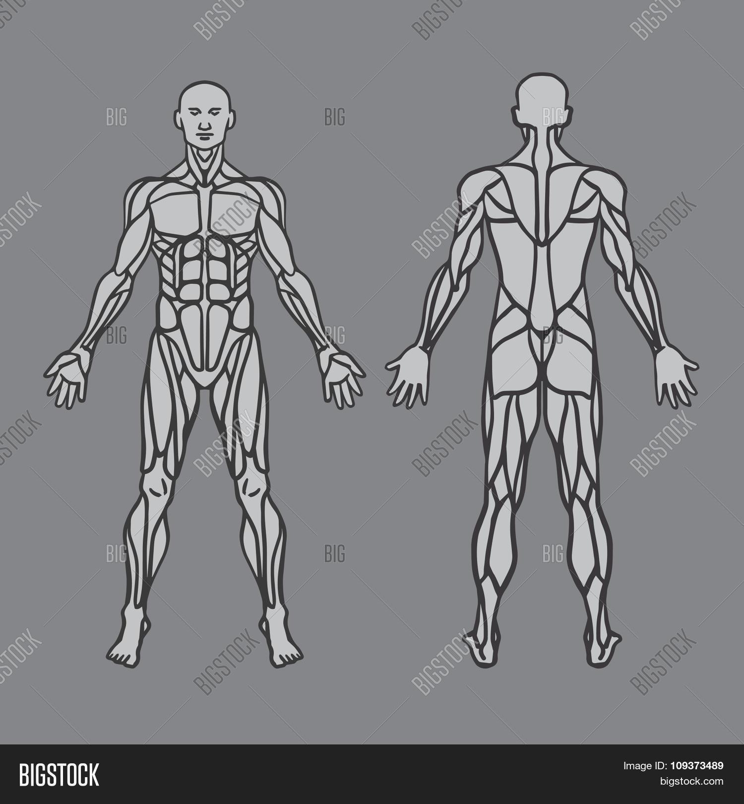 Anatomy Male Muscular Vector Photo Free Trial Bigstock