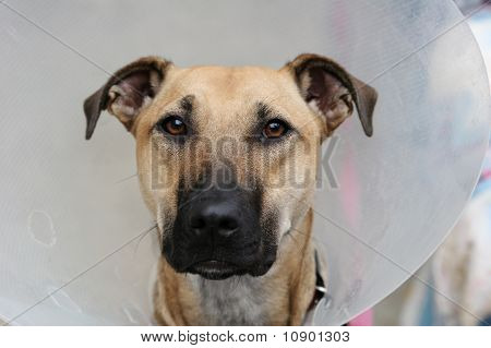 Dog with an elizabethan collar