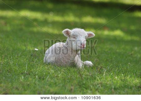 Lamb sleeping on the grass