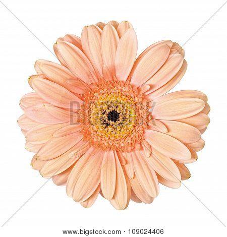 Light Pink Gerbera Flower Isolated