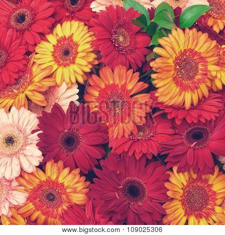 Beautiful Gerbera Flowers Blooming