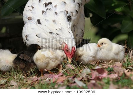 Hen with her chickens