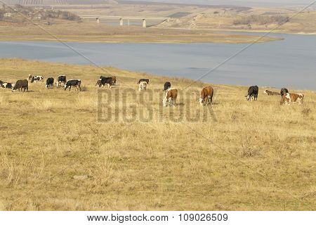 Cattle graze on river bank in village