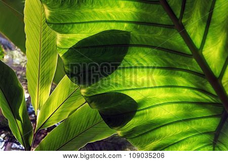 Big green leave and shadow