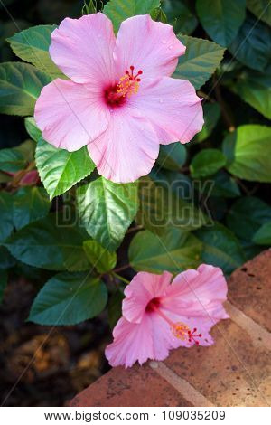 Two pink hibiscus flowers