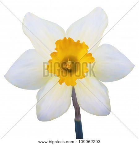 Illustration Jonquil Flower Isolated